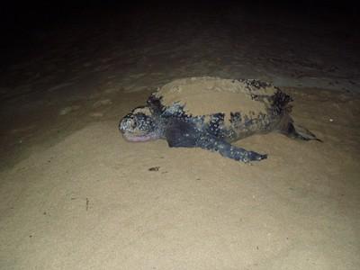Wild Life Baula Turtle - small