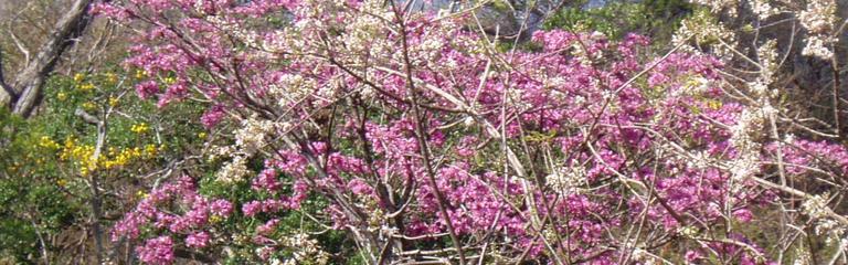 Mass flowering trees costarica information mass flowering trees mightylinksfo